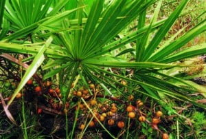 Herb Saw Palmetto Berries