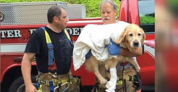 Heroic Golden Retriever